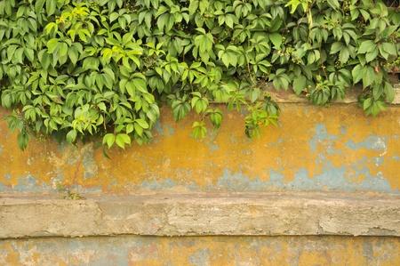 ivies: Verde Virginia Creeper (Five-Leaved Ivy) sul vecchio muro di calcestruzzo