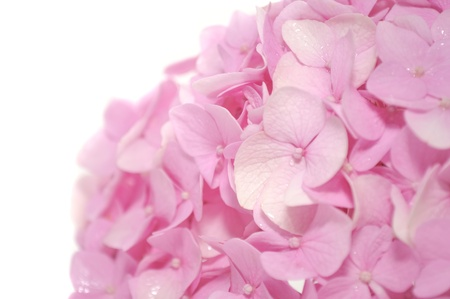 airiness: Beautiful Pink Hydrangea Flowers on White Background