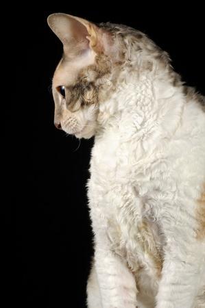 Portrait of Calico Cornish Rex Cat on Black Background Stock Photo - 12335425
