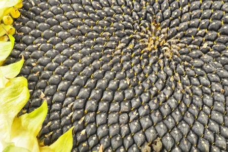 sunflower seeds: Sunflower with Black Seeds Close-Up