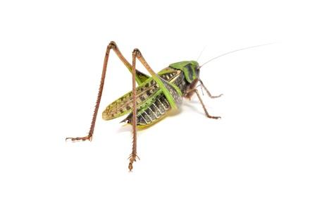 Grasshopper Isolated on White Background Stock Photo - 12335489