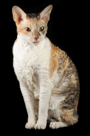 Cute Cornish Rex Cat Showing Its Tongue on Black Background Stock Photo - 12335888