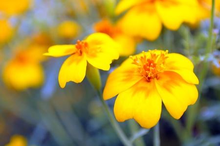 garden marigold: Yellow Marigold  Tagetes  Flower on Flower Bed Stock Photo