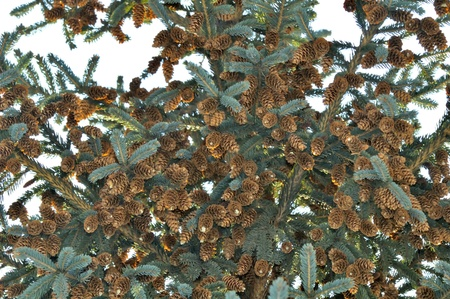 Blue Spruce Tree with Cones Stock Photo - 12336731