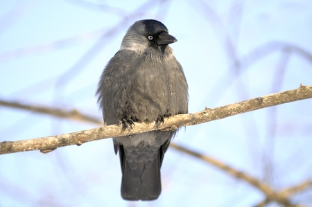 Jackdaw (Coloeus Monedula) Sitting on Tree Branch Stock Photo - 12336827