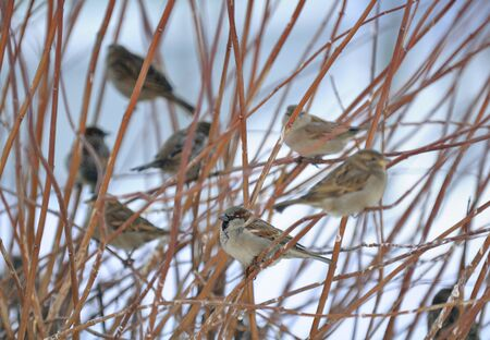 Flock of Sparrows Sitting on Bush Stock Photo - 12336851