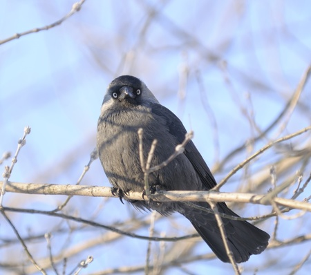Jackdaw (Coloeus Monedula) Sitting on Tree Branch photo
