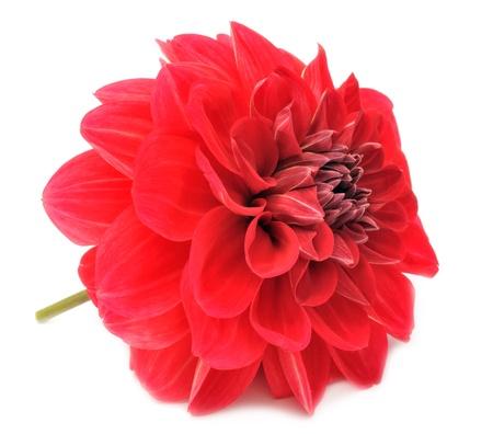 dalia: Hermosa dalia roja aislada sobre fondo blanco