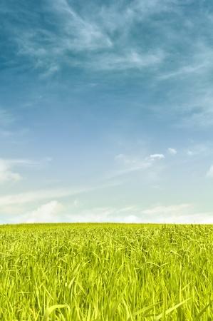 agriculture wallpaper: Green Field Under Blue Sky