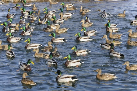 Flock of Mallard Ducks and Drakes Swimming in the Lake Stock Photo - 12841364