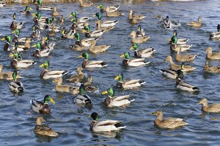 Flock of Mallard Ducks and Drakes Swimming in the Lake Stock Photo - 12841364