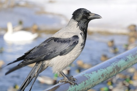 Hooded Crow Sitting on Rail Stock Photo - 12841337