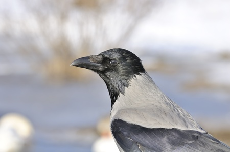 Hooded Crow in Profile Close-Up photo