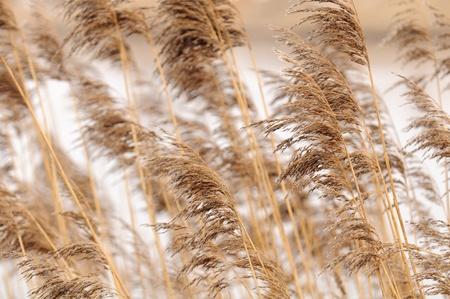 common reed: Common Reed (Phragmites) Stock Photo