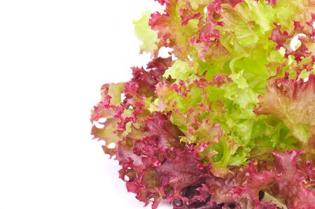 Lollo Rosso Lettuce on White Background photo