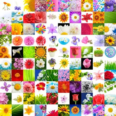 fiordaliso: Grande collezione di Flowers (Set di 100 immagini)