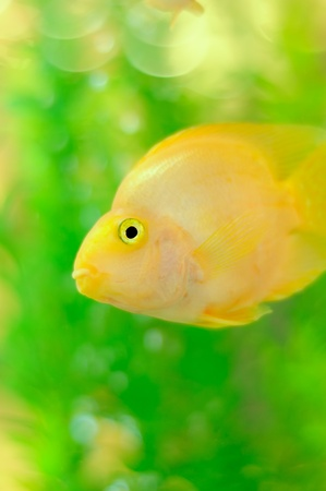 a freshwater fish: Gold Parrot Fish in Aquarium Stock Photo