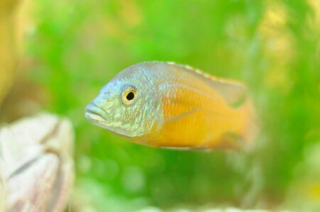 sea creature: Copadichromis Fish in Aquarium