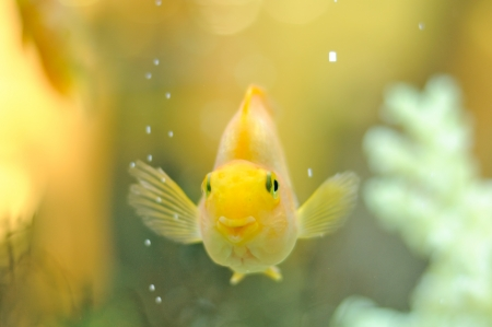 freshwater fish: Happy Gold Parrot Fish in Aquarium Stock Photo