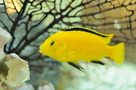 Electric Yellow Cichlid Fish in Aquarium photo