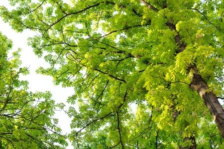 Horse Chestnut (Conker) Trees Stock Photo - 13626380