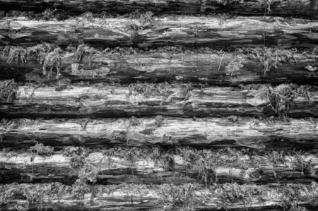 Monochrome Wall of Wood Logs Chinked with Moss photo