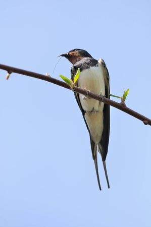 Swallow Sitting on Tree Branch photo