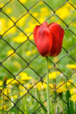 chain link fence: Beautiful Red Tulip by Chain-Link Fence