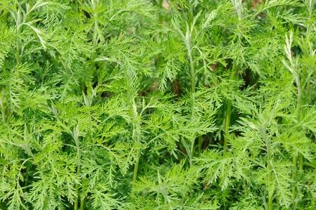 Green Southernwood (Artemisia Abrotanum) Plant