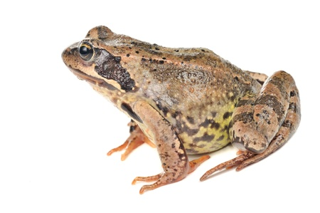 common hop: Frog Isolated on White Background