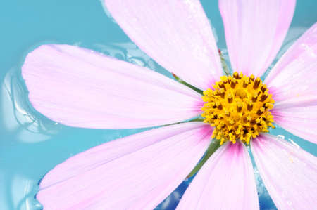 antistress: Pink Garden Cosmos (Mexican Aster) Flower on Water Close-Up