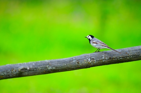 White Wagtail Bird Sitting on Perch Stock Photo - 14252220