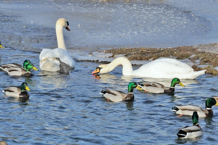 Mallard Ducks and Swans Swimming in the Lake photo