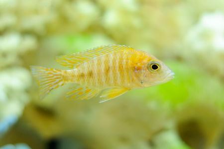 Aulonocara Baenschi (Benga Peacock) Fish in Aquarium Stock Photo - 14289094