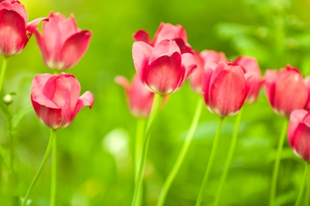 Beautiful Red Tulips on Flower Bed in the Garden in Spring Stock Photo