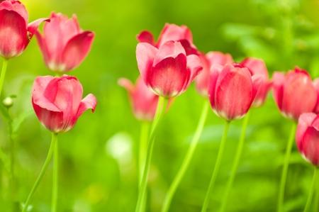 virágágy: Szép piros tulipánok virágágyás a kertben tavasszal