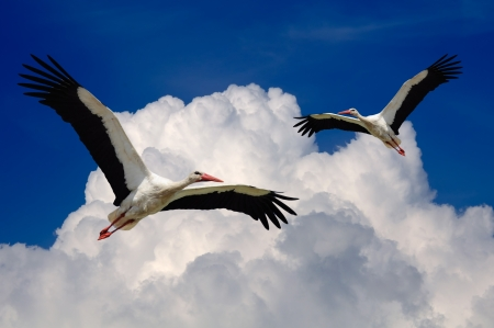 Storks Flying in the Sky with Wings Spread Stock Photo