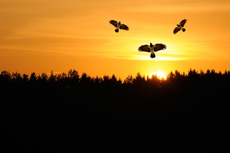 Hooded Crows Flying in the Sky at Sunset photo