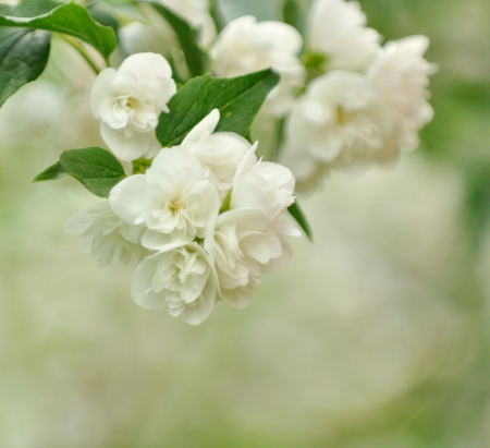 philadelphus: Beautiful White Jasmine Flowers Stock Photo