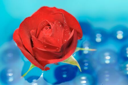 Beautiful Red Rose with Dew Drops on Water photo