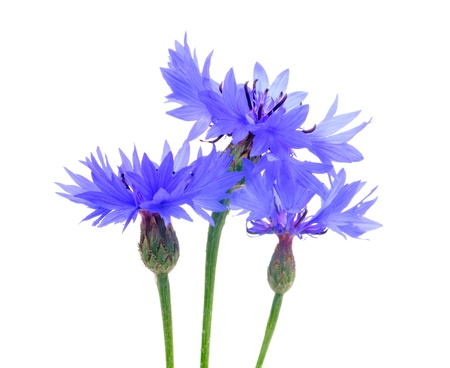Beautiful Cornflowers on White Background