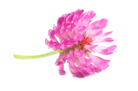 Red Clover Flower Isolated on White Background Stock Photo - 14403442