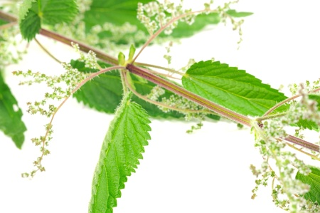Flowering Stinging Nettle (Urtica Dioica) photo