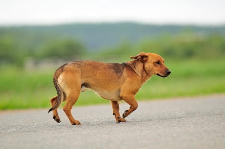 perro corriendo: Perro caminando por la carretera