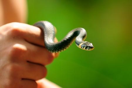 一般的な水蛇 (ヤマドリ) の手で