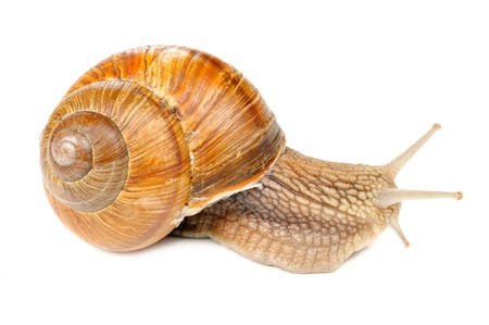 Roman (Edible) Snail Isolated on White Background photo