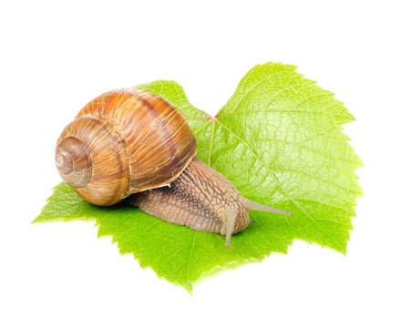 Roman (Edible) Snail on Grape Leaf Isolated on White Background photo
