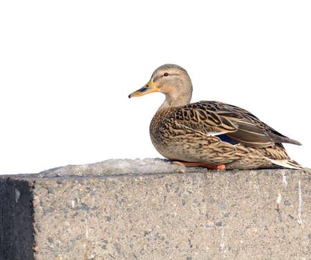 Mallard Duck on Concrete Embankment Stock Photo - 14573205