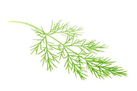Green Southernwood (Artemisia Abrotanum) Branch photo