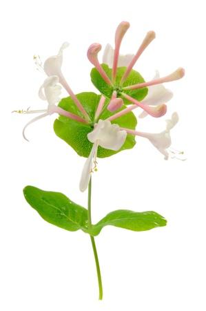 honeysuckle: Honeysuckle Flowers on White Background Stock Photo